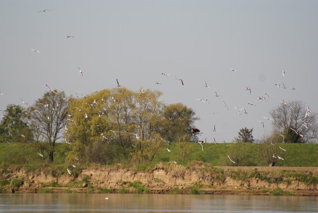 Łacha 844 km gromadzi co raz więcej rybitw i śmieszek, które jednak nawiedzają ataki bielika. Fot. Roman Grzebiński.