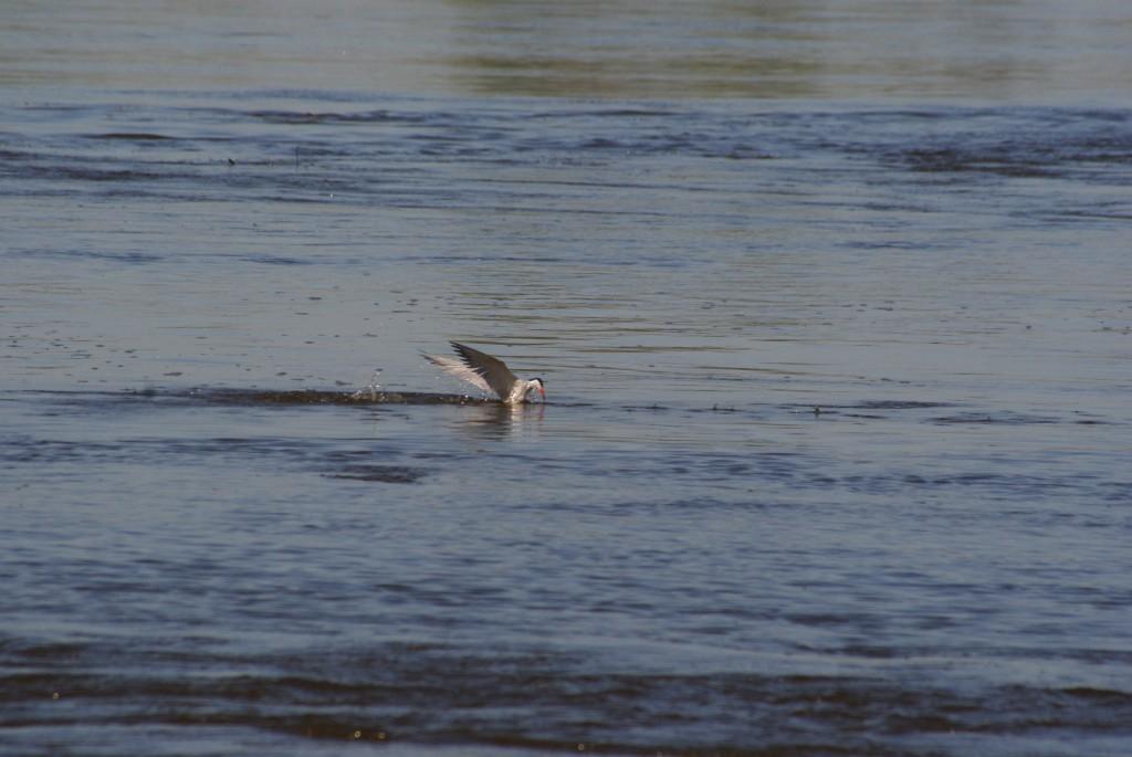 Żerujące w pobliżu łach rybitwy rzeczne są oznaką nadchodzących lęgów. Fot. Roman Grzebiński